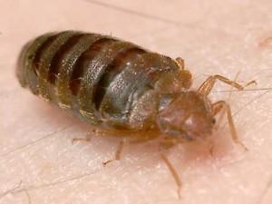 Winnipeg Bed Bug