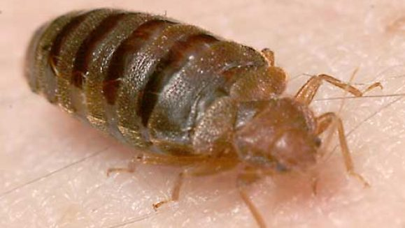 Winnipeg Bed Bug